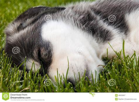 husky puppy sleeping sleeping husky puppy stock photo image 49033897