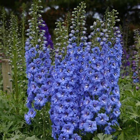 Id 82 Blue Flower buy delphinium delphinium blue lace new millennium