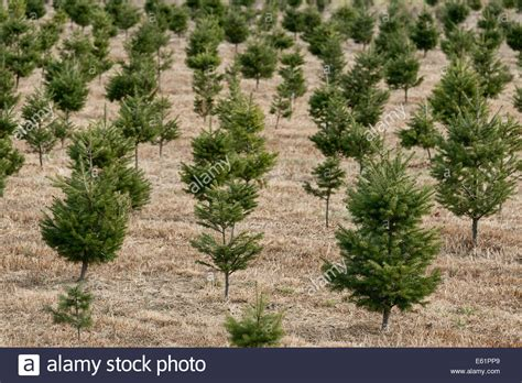young saplings at a christmas tree farm new jersey usa