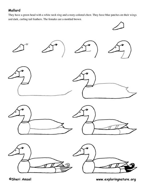 how to draw wood duck