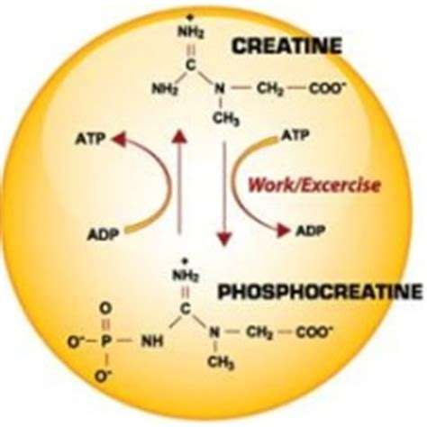 creatine structure amazing benefits of the supplement creatine