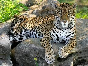 All About Jaguars Facts Jaguar Facts And Pictures