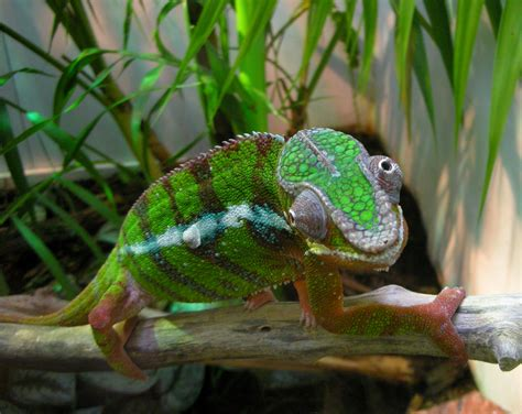 do lizards change colors why do chameleons change their colors wonderopolis