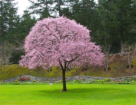 flowering plum tree fruit flowering tree visuals plum