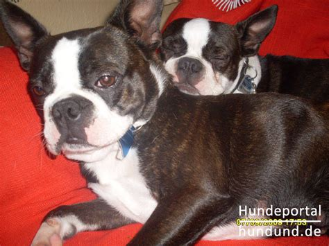 www chopcuthaircuts cim boston terrier foto fotos de boston terrier venta perros