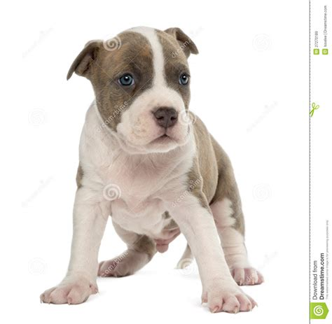american terrier puppy portrait of american staffordshire terrier puppy royalty free stock images image