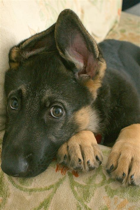 Gsd Puppy With Newly Standing Ears German Shepherd Dogs Pintere