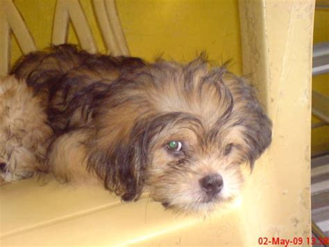 dog house for sale philippines shih tzu for sale philippines dog breeds picture