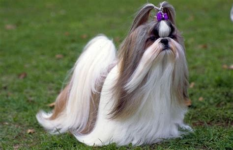 size of shih tzu size and weight of shih tzu many