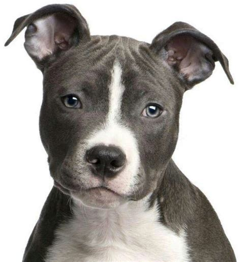 staffy puppy 17 best images about staffy s on staffordshire bull terriers puppys and