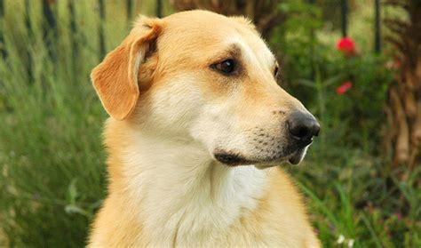 chinook puppy chinook breed information