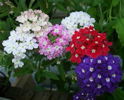 imagenes de flores verbenas verbena flower