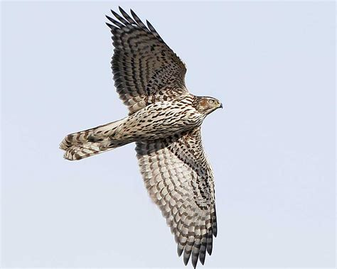 northern goshawk audubon field guide
