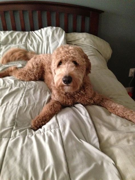 goldendoodle puppy problems 1000 images about goldendoodle haircuts on