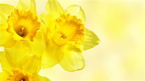 yellow flower wallpaper for walls yellow flowers 14153 1600x900 px hdwallsource com
