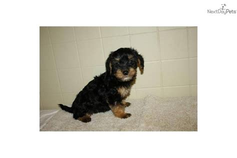 yorkie poo puppy names meet china cm a yorkiepoo yorkie poo puppy for sale for 425 china cm