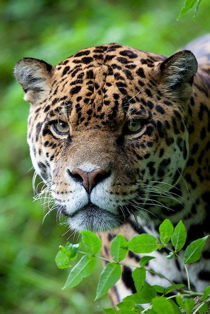Cats That Look Like Jaguars 1000 Images About Cats On Cats