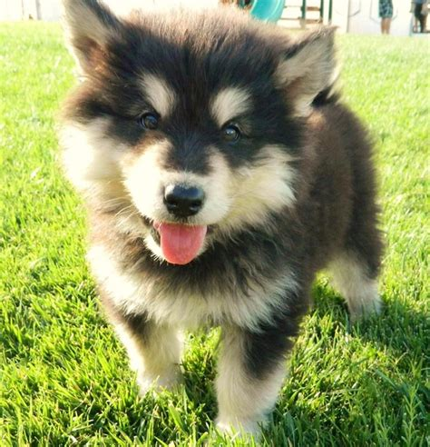 miniature husky pomeranian mix 25 best ideas about husky pomeranian mix on pomeranian husky puppies