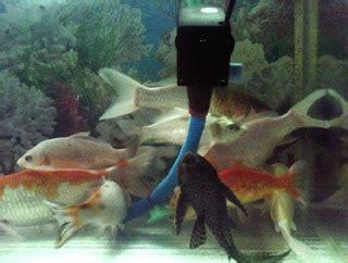 Pasir Zeolit Untuk Dasar Aquarium cara memelihara ikan koi di aquarium dengan benar