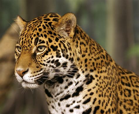 Jaguars Moving To Jaguar 243 Yaguaret 233 171 Valores Argentinos Db