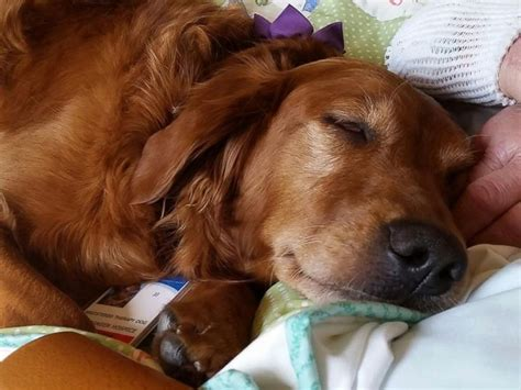 dog comforts hospice therapy dog comforts dying patient in heartwarming