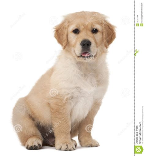 golden retriever puppies 7 months golden retriever puppy 2 months sitting stock photo image of sitting canine