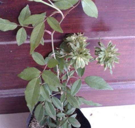 Mawar Hijau Green Roses Plants Tanaman Bunga Hias Unik Langka tanaman mawar hijau green jual tanaman hias