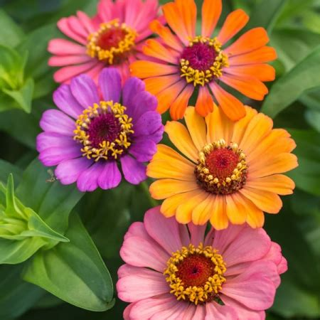 zinnia fiore zinnia forecast seeds new featured flowers