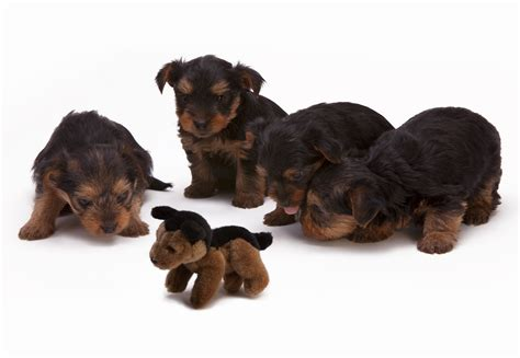 black and brown puppy black and brown haired puppies 183 free stock photo
