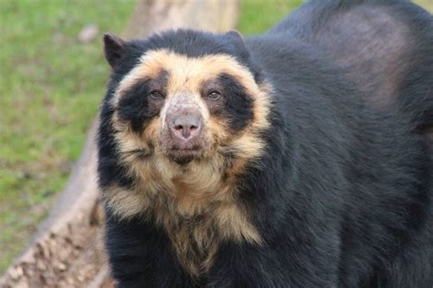 spectacled bear spectacled bear 187 chester zoo gallery