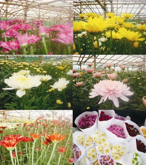 Pupuk Untuk Bunga Pukul 9 cara menanam bunga krisan dengan mudah