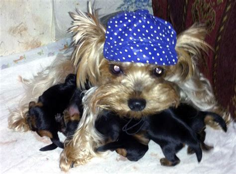 taking care of a yorkie puppy take care of the crucial aspects while yorkies time