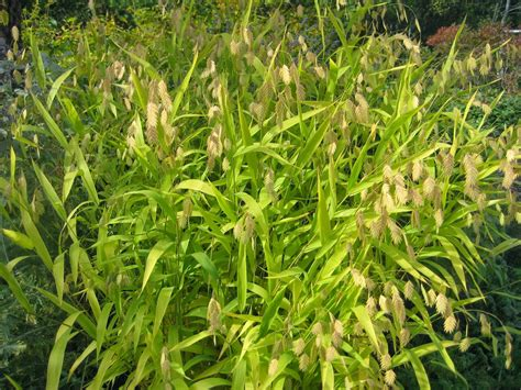 susan s in the garden ornamental grasses northern sea oats