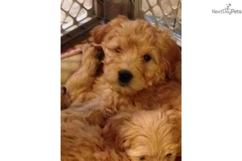 goldendoodle puppies missouri teddy goldendoodles house trained smaller goldendoodle puppy for sale near