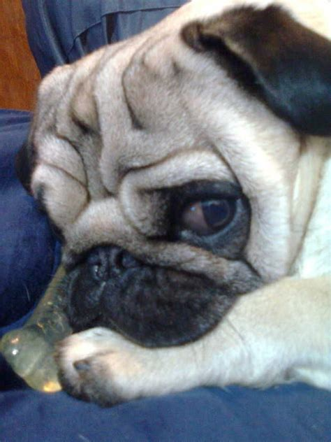 wrinkly pug 17 best images about i pugs on at work tiny puppies and to find out