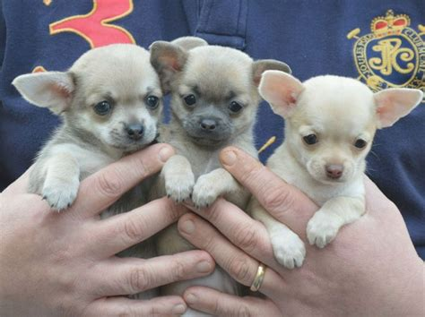 cheap small puppies for sale top 25 ideas about teacup chihuahua puppies on teacup chihuahua teacup