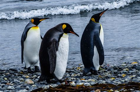 Penguin S 20 black and white facts about penguins mental floss