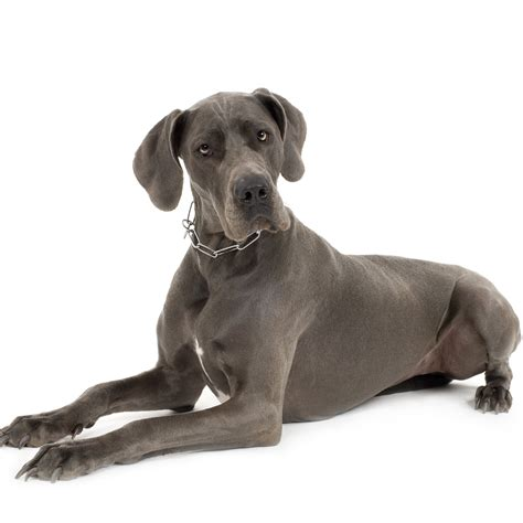 puppy great dane great dane facts and trivia popsugar pets