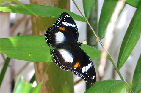 Garden Animals This Is A Up Of The Varied Eggfly Butterfly