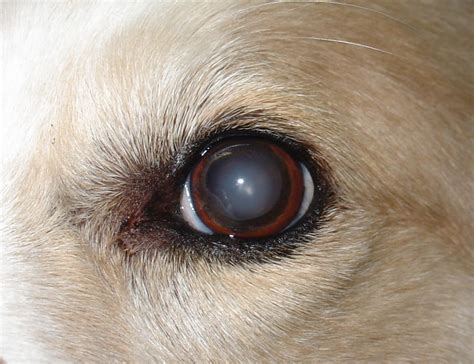 puppy cataracts brookside barkery bath cataracts in dogs and cats