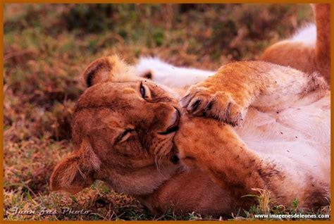 imagenes de leones en movimiento imagenes de leones parados archivos imagenes de leones