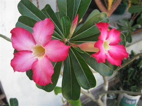 Biji Bunga Kamboja Jepang marawat bunga kamboja merawat