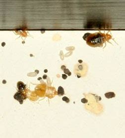 where do bed bugs hide during the day about bed bugs cobbtf