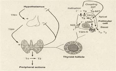 test di guthrie l ipotiroidismo dalla nascita in poi