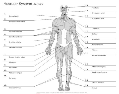Report Template For Musculoskeletal System Anatomy Chart Typical Uses For Anatomy Charts