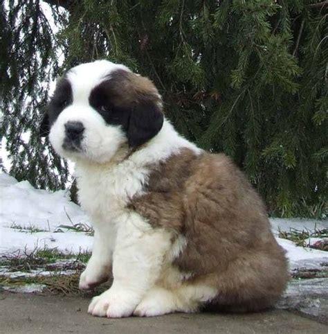 free bernard puppies bulldog puppies pictures puppieskittensbaby animals