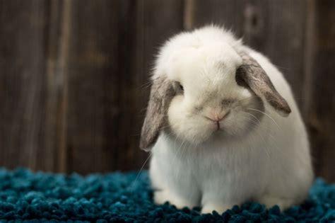 lop colors lop color chart lop rabbit colors ohio