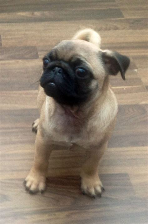 pugs for sale hshire kc pug puppys for sale runcorn cheshire pets4homes