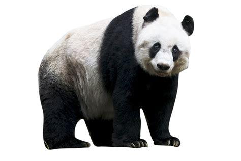 images of panda bears panda png images free