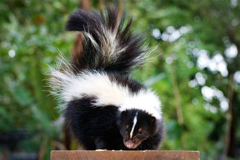 how to get skunk out of fur getting rid of skunks and skunk smell safebee